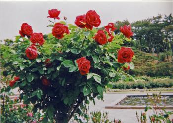 1211528937_rose1